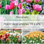 Flower Photography: 5 Tips for Photographing Tulips