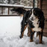 How To Protect Dogs During Cold Weather
