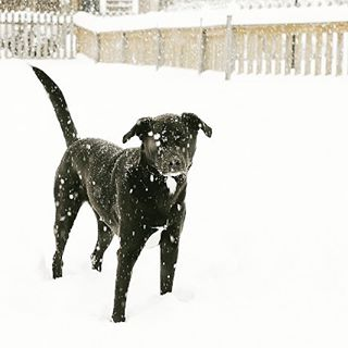 Snow day! This pup sure does love snow  blacklabhellip